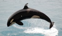 orca photo