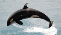 00dca-orca2Bphoto