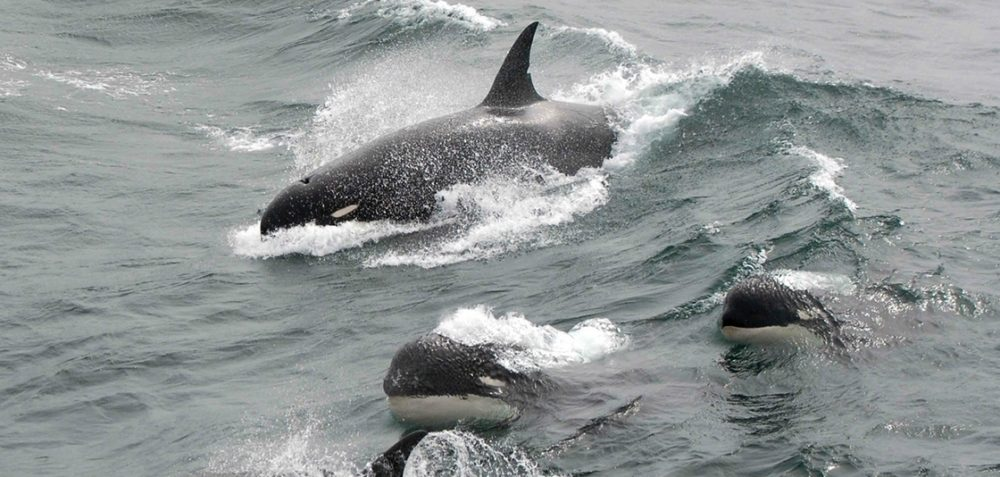 PHOTO-Type-D-killer-whales-showing-their-blunt-heads-and-tiny-eyepatches-in-2011-Credit-J.P.-Sylvestre-South-Georgia-1125x534-Landscape-1000x477